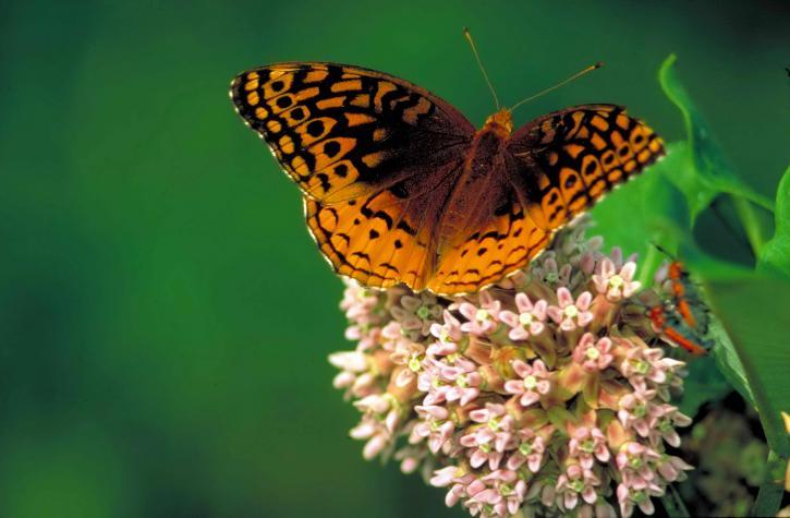 grande, pailletée, fritillaire, commun, asclépiade, papillon, Speyeria, cybele