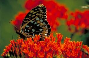 veľký, springled, fritillary, motýľ, burinu, speyeria cybele