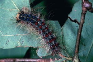 gypsy, moth, invasive, moth, catepillar, lymantria, dispar