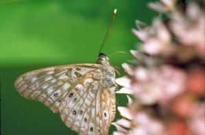 hackberry, butterfly, insect, asterocampa, celtis