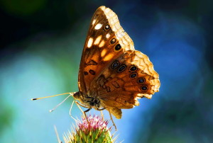hackberry, emperor, butterfly, insect, asterocampa, celtis