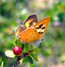 hermes, copper, butterfly, insect, lycaena, hermes