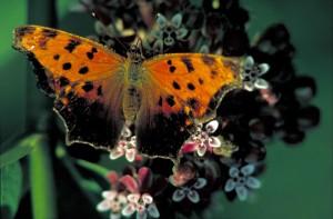 marchand, virgule, papillon, insecte, polygonia, virgule