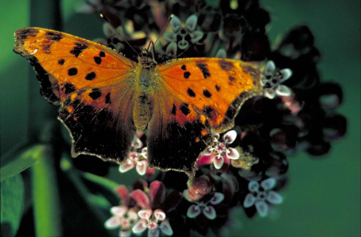 merchant, comma, butterfly, insect, polygonia, comma