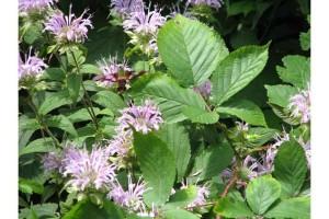 humming, bee, moth