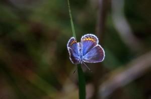 karner, blue, butterfly