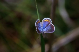 karner, bleu, papillon