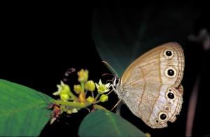 lesíka, satyr, tan, béžová, bílá, butterfly, megisto cymela