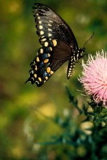 macro, butterfly, insect, picture