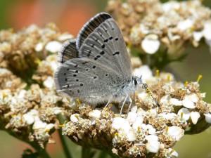 mission, blå, sommerfugl, insekt, makro, foto, icaricia icarioides missionensis