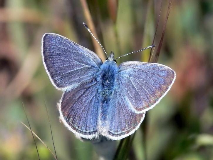 uppdrag, blå, fjäril, insekt, hane, icaricia icarioides missionensis
