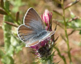 uppdrag, blå, fjäril, insekt, blomma, icaricia icarioides missionensis