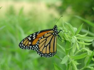 male, monarch butterfly, green plant, danaus, plexippus