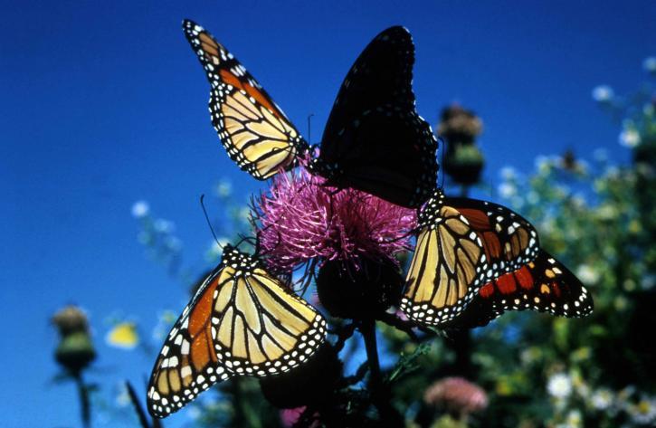 papillons monarques, les insectes