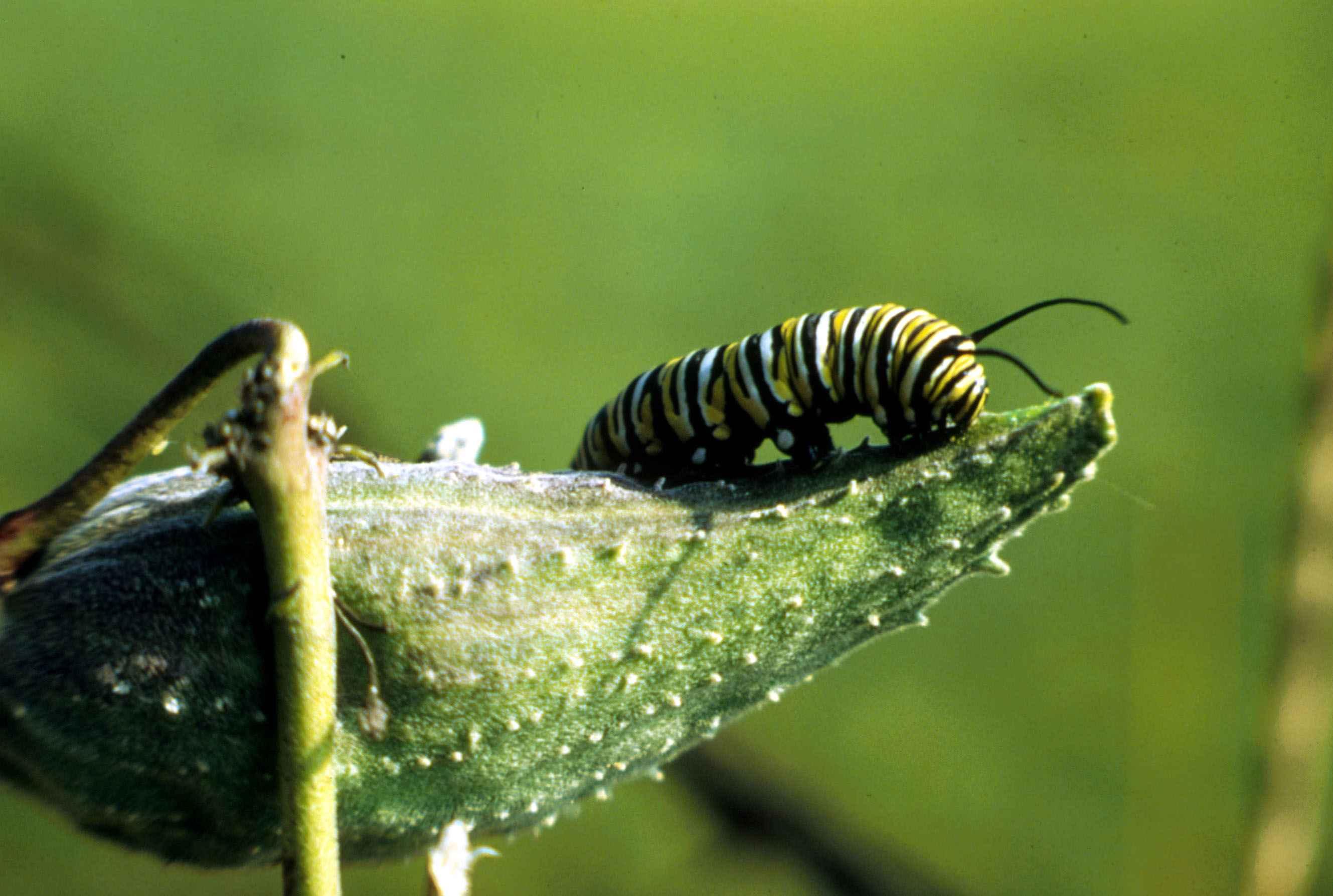 Free photograph; monarch, butterfly, caterpillar, insect, danaus, plexippus