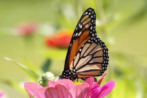 monarch butterfly, insect, danaus, plexippus