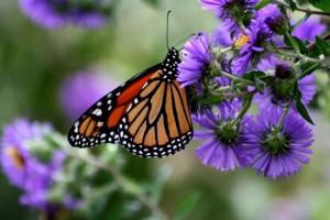 monarch butterfly, insect, danaus, plexippus, purple flower