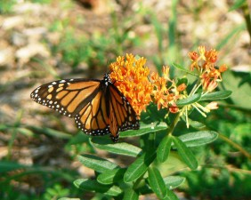 monarch butterfly, insect, butterflyweed, flower