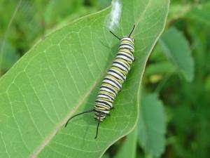 monarch butterfly, larvae, common, milkweed