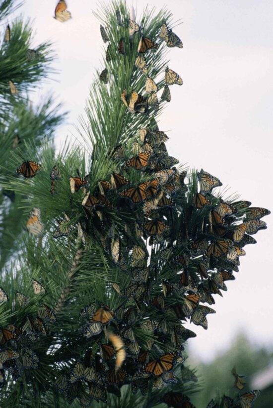 monarch butterfly, migration, danus, plexippus