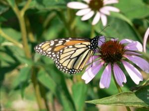 papillon monarque, fleur, insecte, danaus, plexippus