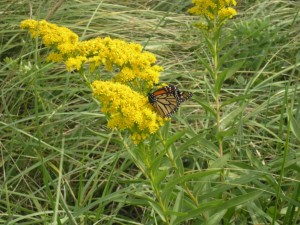 monarch butterfly, goldenrod, plant, flower