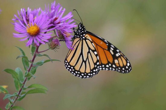 monarch butterfly, England, aster