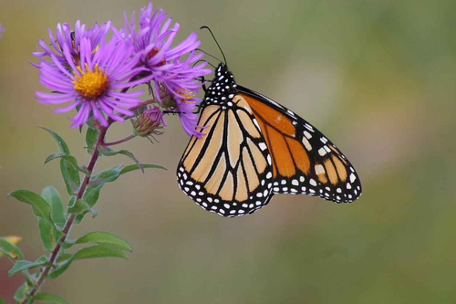 free picture monarch butterfly england aster