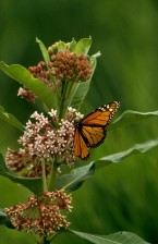onnage, papillon monarque, Danaus, plexippus