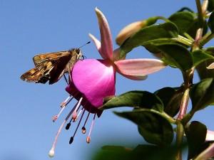 Moth, fuchsia, blomst