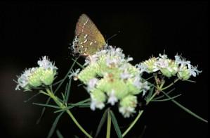 Oliven-, hairstreak, Schmetterling, gelblich, grau, flügel, mitoura gryneus