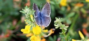 Palos verdes, blå, fjäril, insekt, glaucopsyche lygdamus palosverdesensis