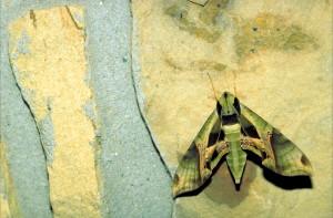 Pandora, sphinx, camoflage, värillinen, moth, istuu kivi