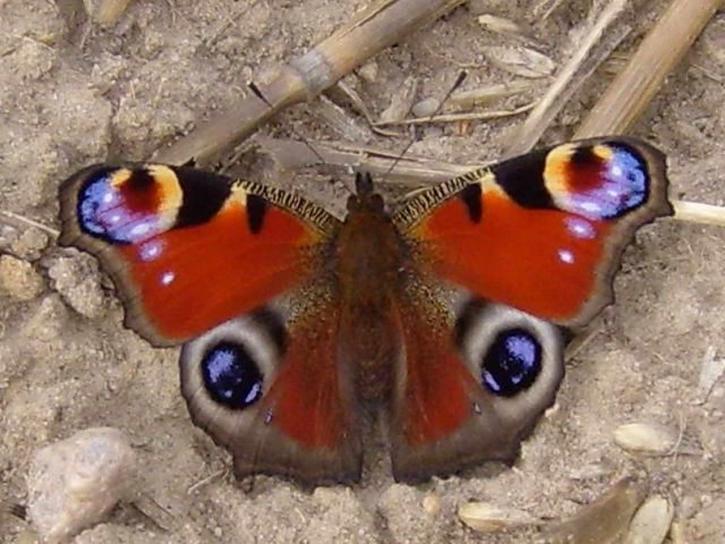 påfugl, butterfly, dryadula phaetusa