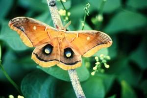 polyphemus, papillon, insecte