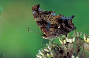 question, marque, papillon, commun, asclépiade, fleur