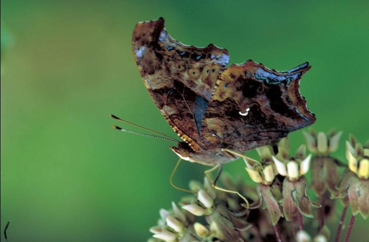 spørgsmål, mark, sommerfugl, fælles, milkweed, blomst