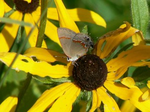 roşu, alternante, hairstreak, fluture, calycopis, Cecrope