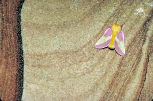 rose, érable, teigne, Dryocampa, rubicunda, brouillé, jaune, corps, rose, jaune, ailes