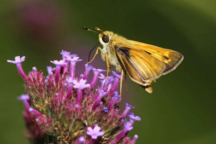skipper, papillon, hesperia, virgule, jardin, phlox