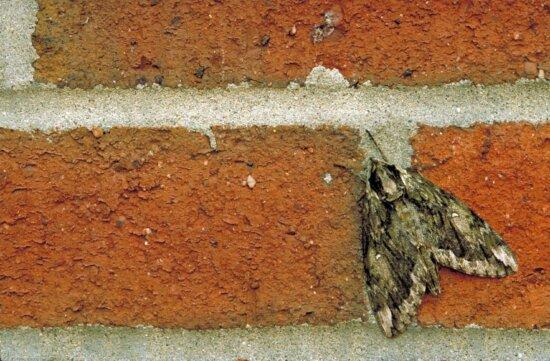 spinx, mothistar, mona, brown, tan, wings, sitting, mortered, bricks, viewed