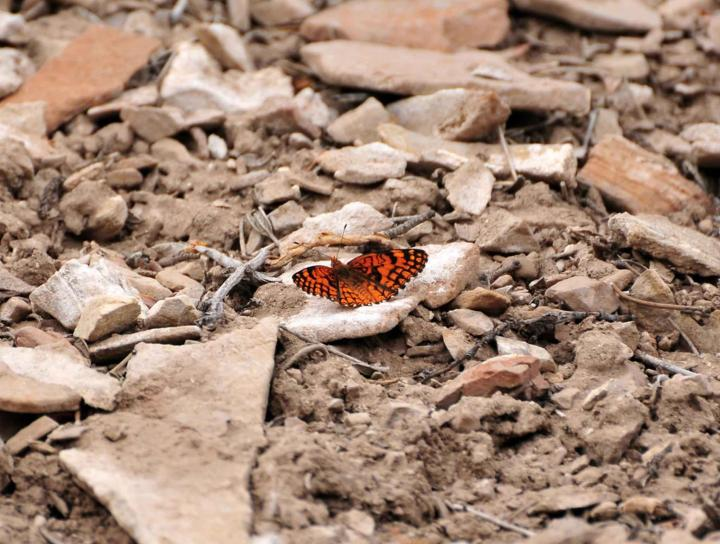spring, mountains, acastus, checkerspot, butterfly