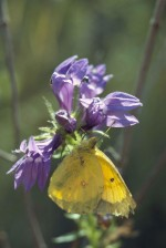 sulphur, yellow, butterfly, insect, colias, philodice