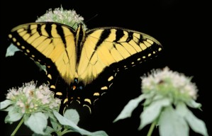 papillon machaon, insecte