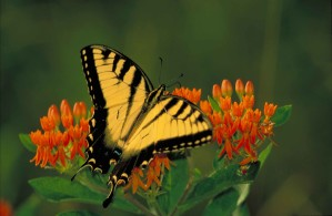 black, striped, yellow, tiger swallowtail butterfly, pterourus, glaucus, sitting, orange, blossom