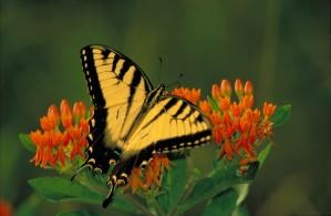 noir, rayé, jaune, machaon de tigre, Pterourus, glaucus, assis, orange, fleur