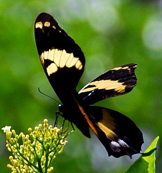 Jamajka, veliki, leptir lastin rep, insekata