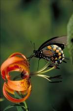 오렌지, 노랑, 얼룩, 검정, pipevine, 호랑나비과, 곤충, battus, philenor