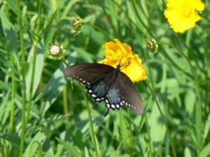 arbuste, buisson, papillon machaon, Papilio, troilus, fleur