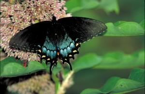 fecskefarkú, fekete, pillangó, sárga, narancs, pontok, neon, kék